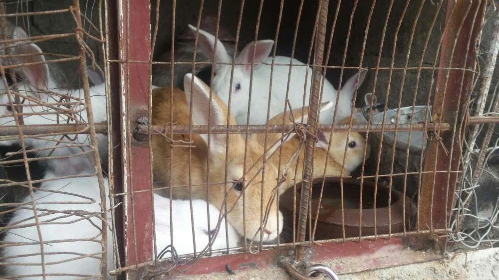 vendo coelhos bonitos, castanhos e brancos na matola mozal Cidade de Matola - imagem 2