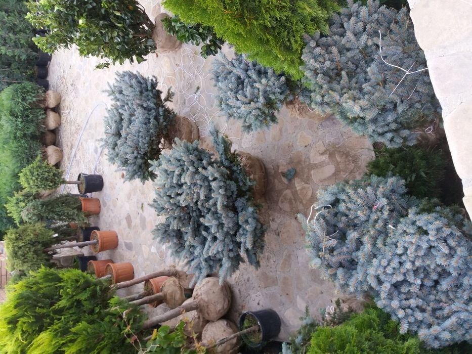 Plante ornamentale brazi