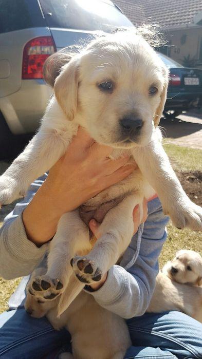 Labrador retriever (global pets) Bairro Central - imagem 4