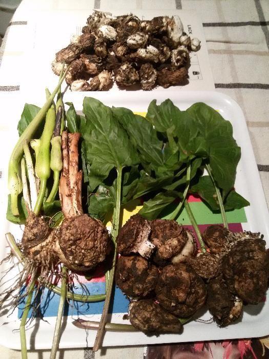 Пресен корен от змийска хурка–срещу хемороиди, миома,подагра