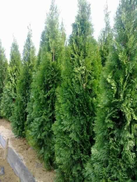 Poze reale cu tuia smaragd, columnaris si occidentalis. Livram oriunde
