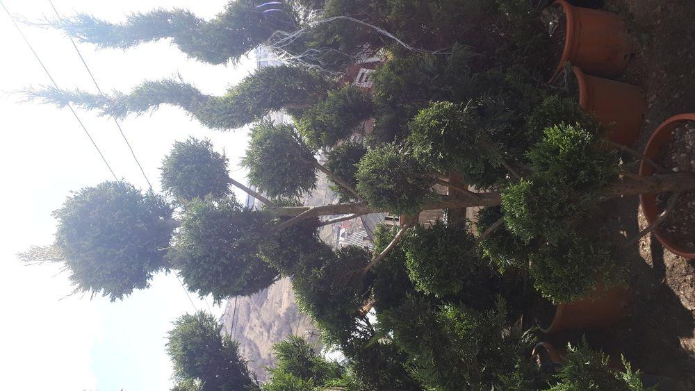Plante ornamentale ptr gradina tuia brazi gazon piatra naturala