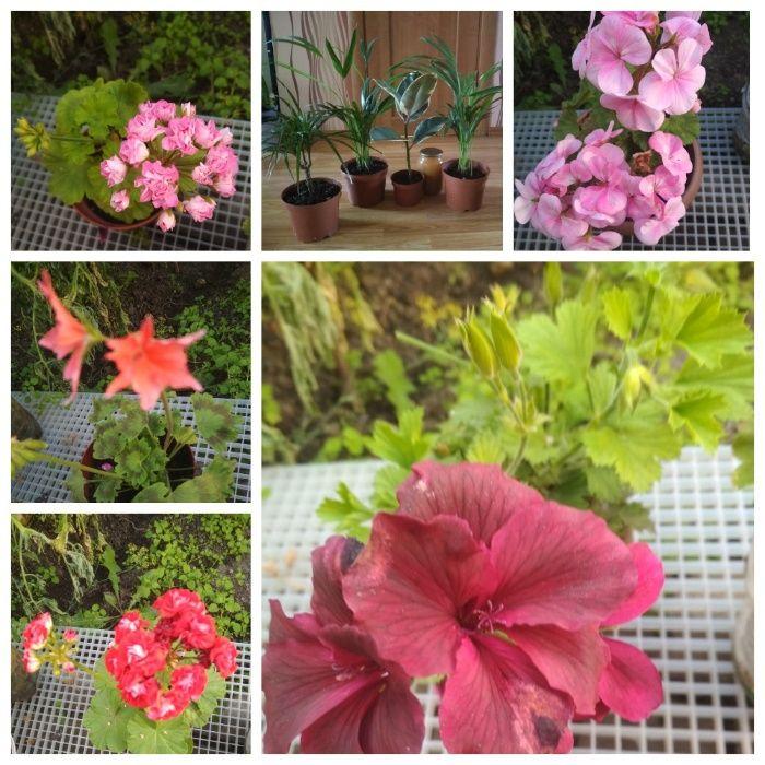 цветы для школы, офиса или дома красивые бегония пеларгония герань