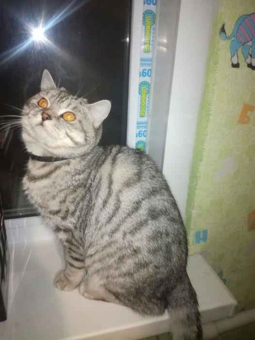 Шикарный кот британец