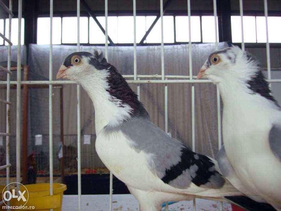 porumbei jucatori galateni