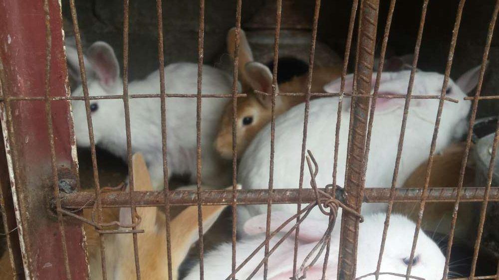 vendo coelhos bonitos, castanhos e brancos na matola mozal Cidade de Matola - imagem 3