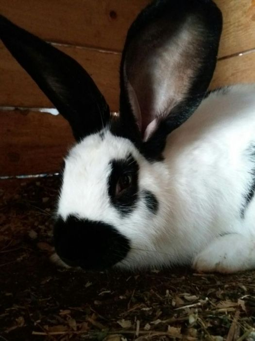 Vând iepuri din părinți cu pedigree