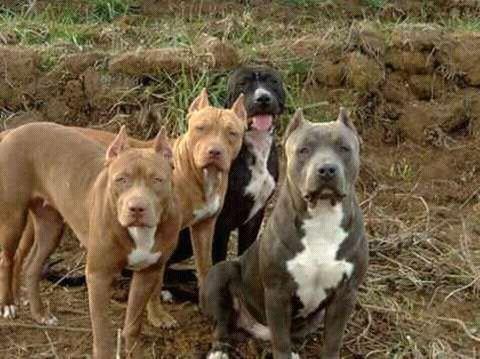 Cães pit bull