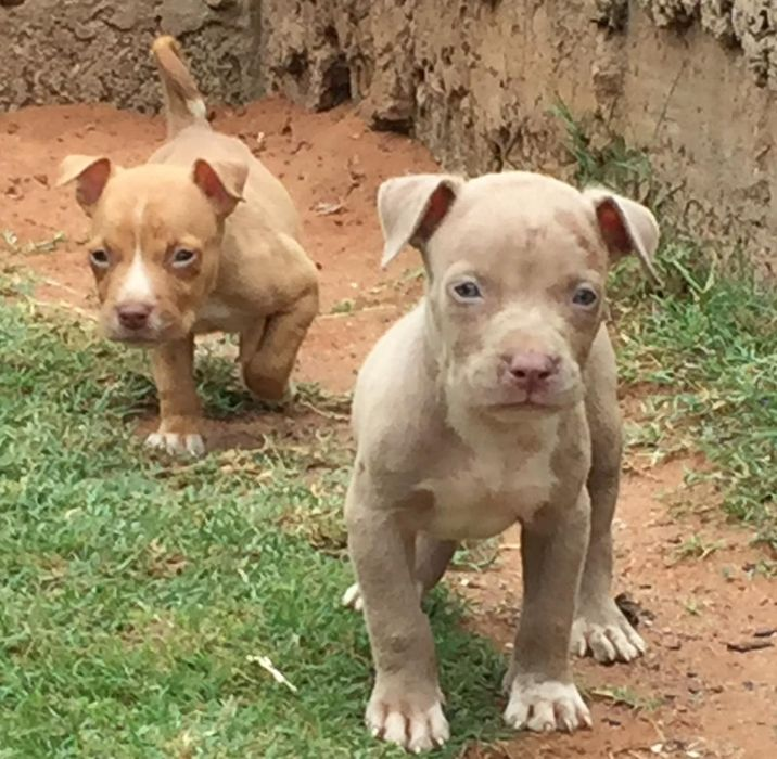 pitbull machos apenas available