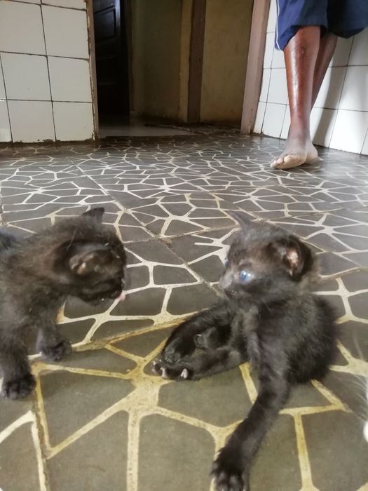 Gatos100% black