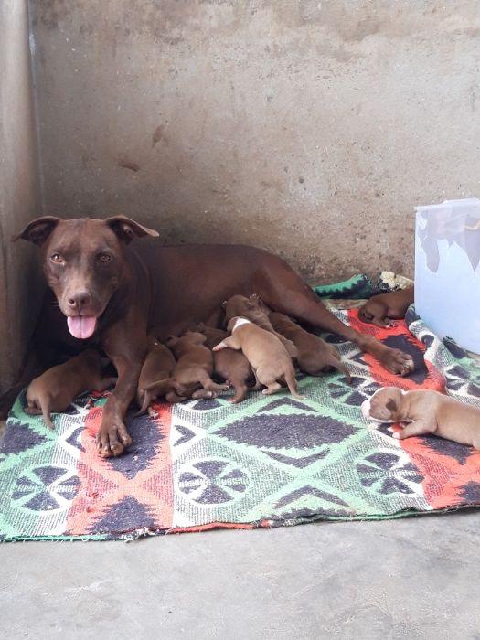 Pitbull rednose terrier