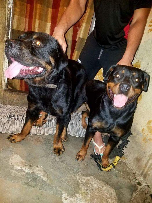 Filhotes de Rottweiler bons e puros