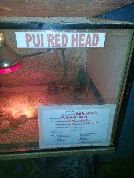 Pui de prepelițe RED HEAD Mogosesti - imagine 2