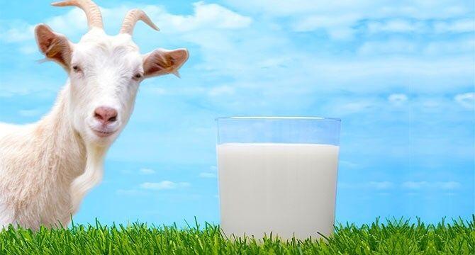 Свежее козье молоко