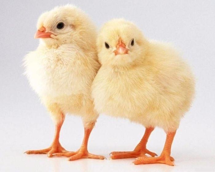 """Комбикорм Фирмы """"АЛ и КС"""" ПК-5-1 РОСТ для цыплят бройлеров 14-30 дней"""