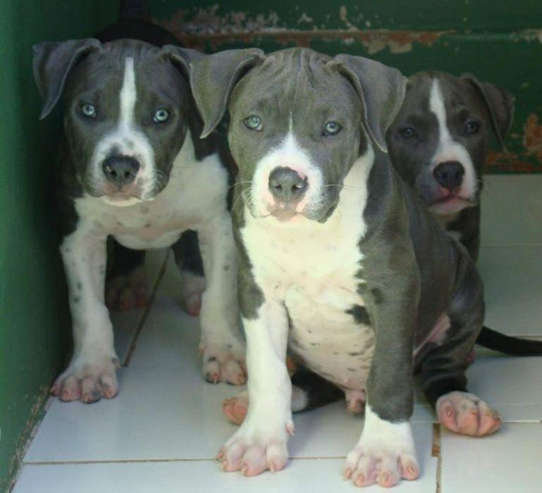 Filhotes de Pitbull Blue Nose