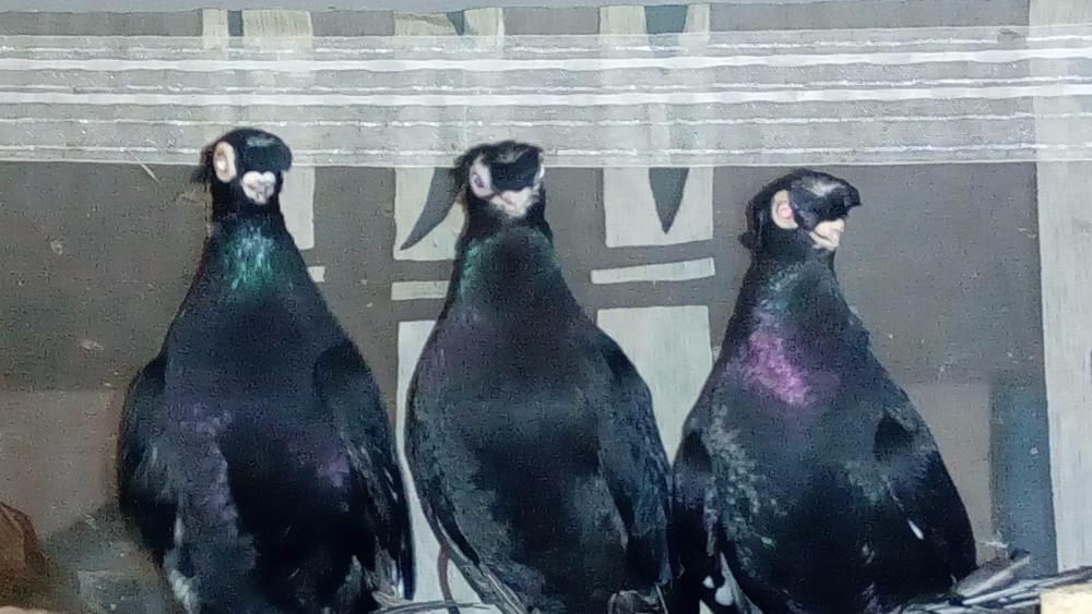 Продам голубей разных пород.
