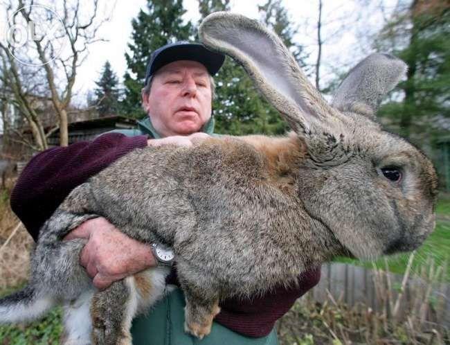 кролики породы великан возрост разный клетки на заказ домики