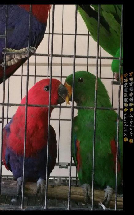 Vendo casal de papagaios eclectos roratos em matola