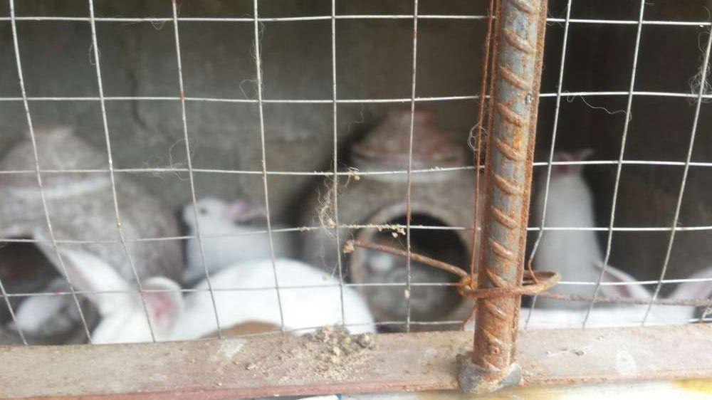 vendo coelhos bonitos, castanhos e brancos na matola mozal Cidade de Matola - imagem 4