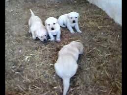 Crias de Labradores a venda