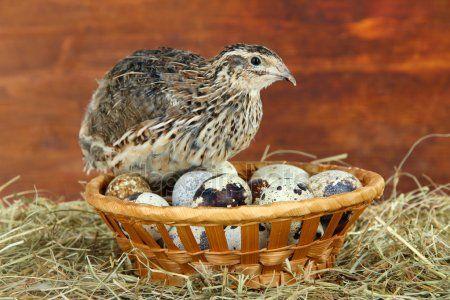 Aves de Codorniz - QUAIL -