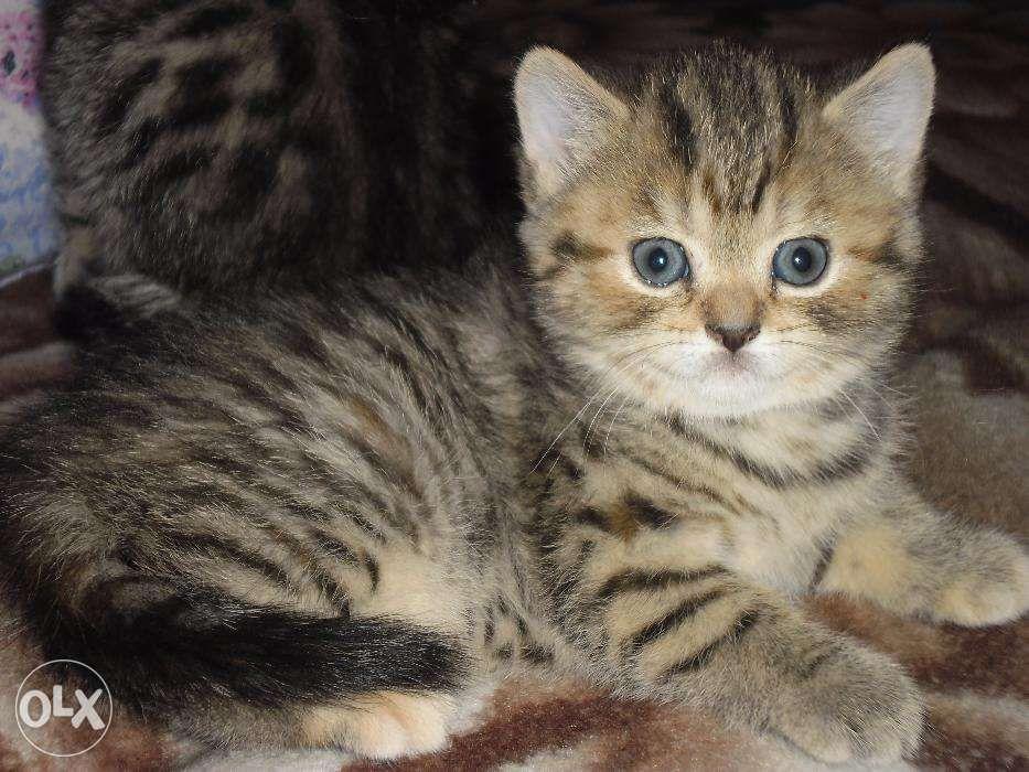 """Британские котята из питомника """"Шерхан""""."""