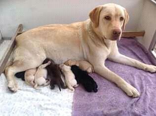 Labrador retriver já com 2 meses Maianga - imagem 2