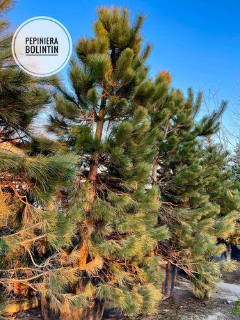 Cât timp se gestionează pinii.