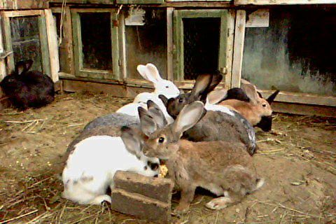 Vand/schimb iepuri urias german