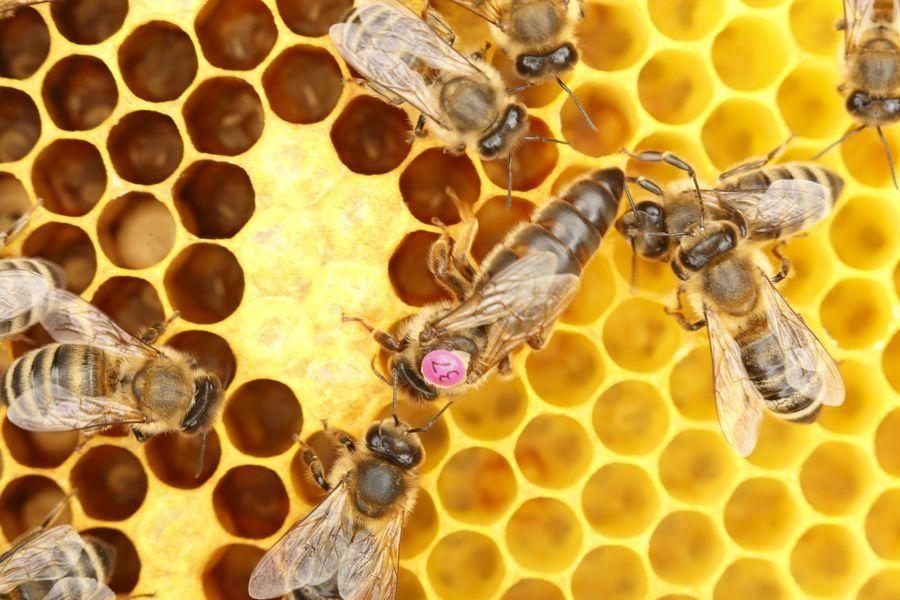 Пчелни майки и отводки от регистриран биологичен производител