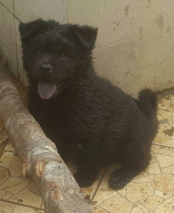 Chow chow macho preto com apenas 3 meses