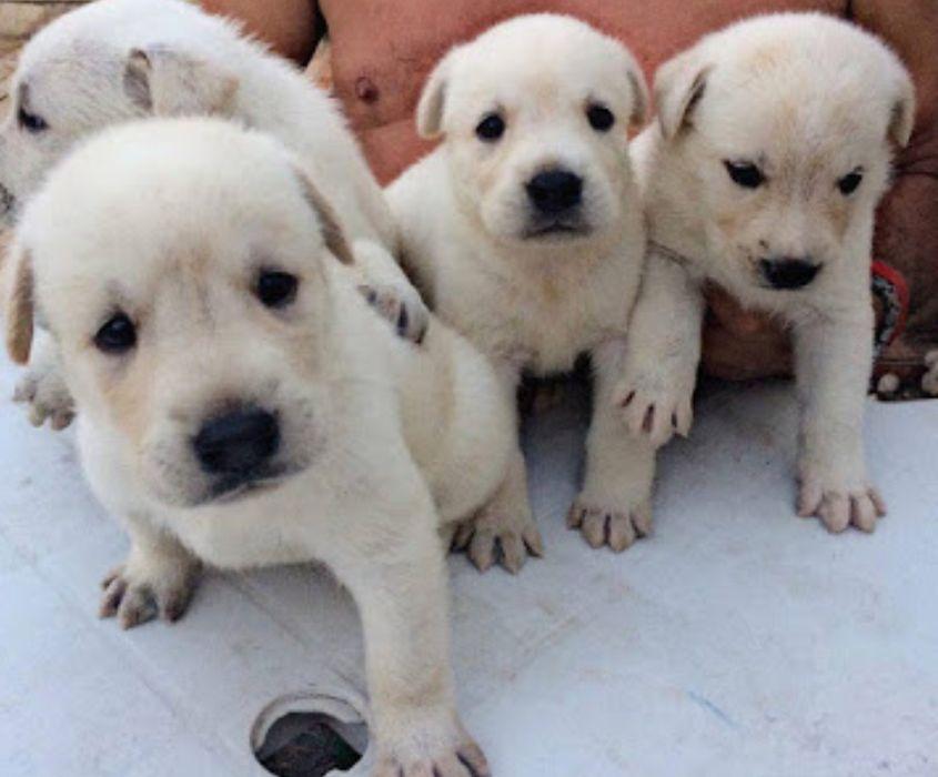 Filhote de Labrador branco