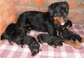 Rottweiler a venda
