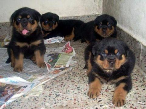 Cães A venda