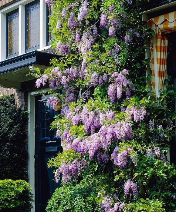Arbust peren decorativ .