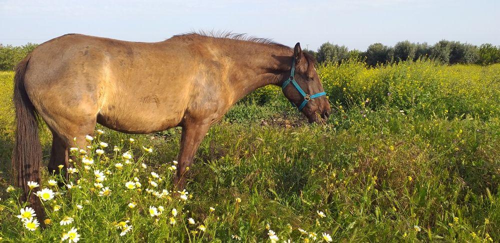 Vendo egua bem montada e engatada