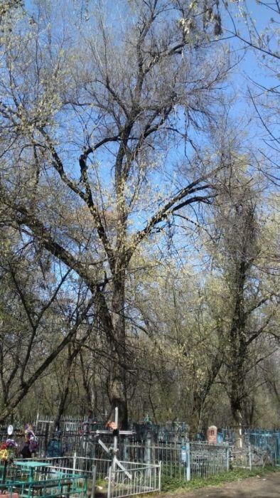 Дерево на спил