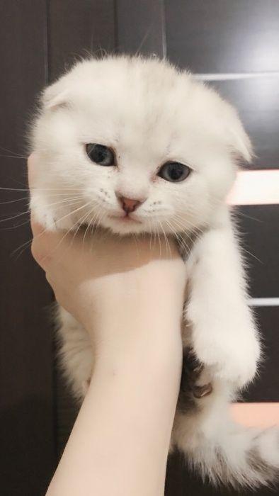 Вислоухий шотландский котёнок