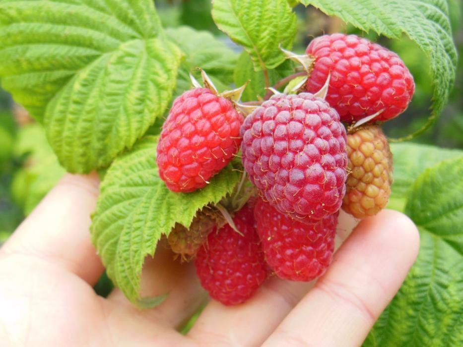 Малини Шопска алена, къпини без бодли Смутстем, ягоди, касис, смокиня