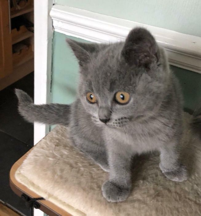 Pui de pisica british shorthair blue Oradea - imagine 1
