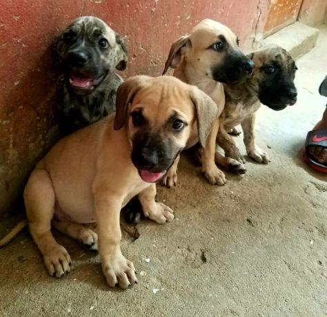 Animais domésticos a venda