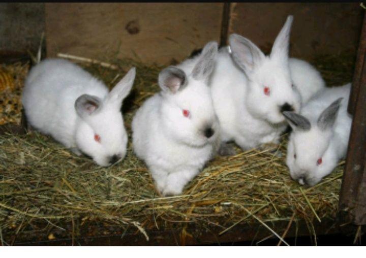 Vând pui iepuri din rasele pestriț german și Californian