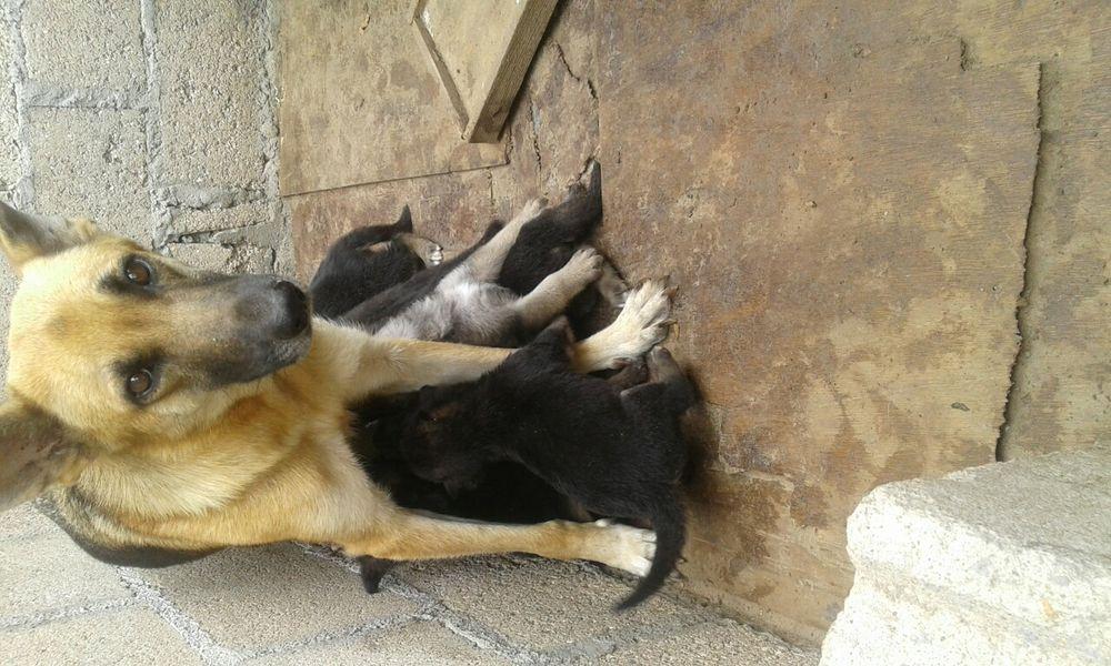 Vendo cachorros de pastor Alemão