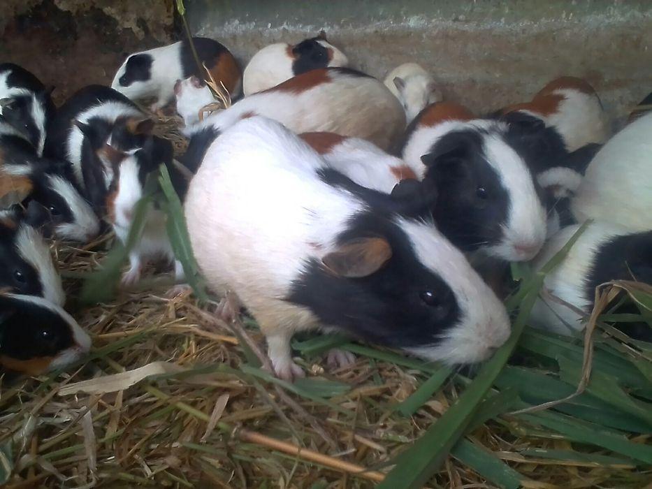 Cobaias(porquinho da india )