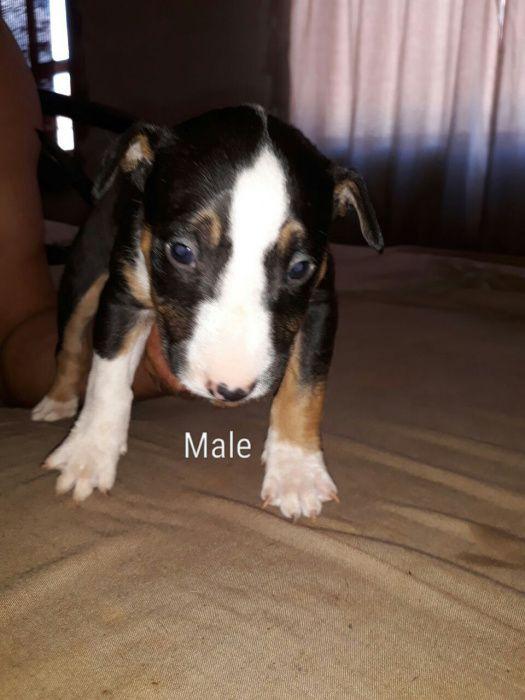 Bull terrier (global pets)