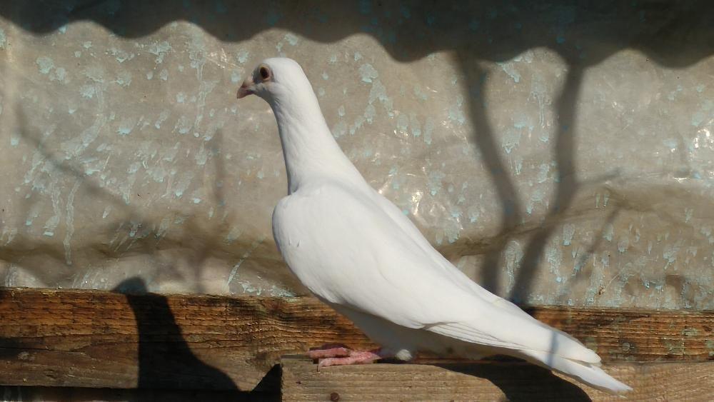 Vand porumbei voiajori albi si jucatori de Oradea