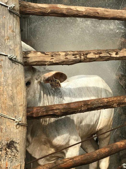 1000 cabeças de gado braham