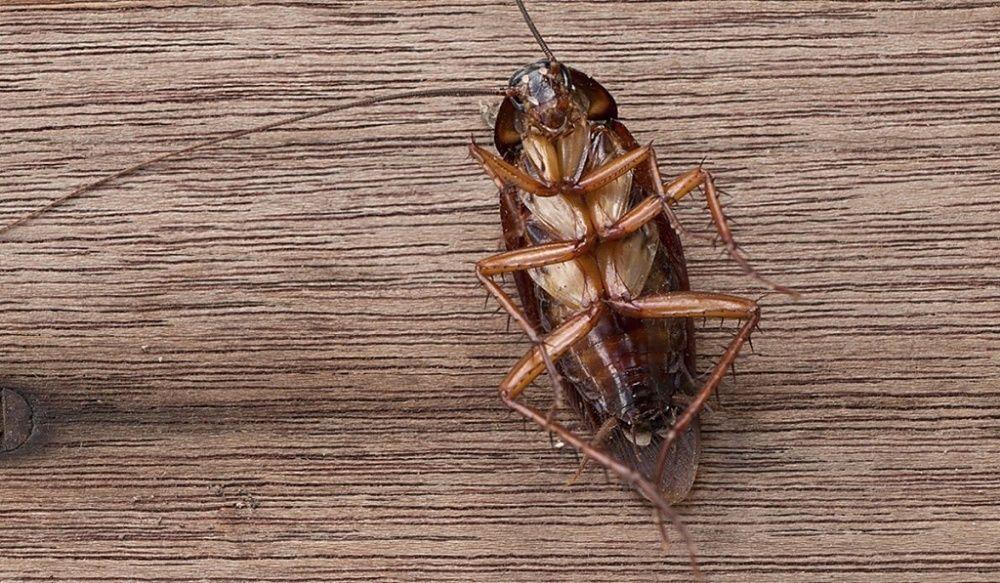 Eliminação de Baratas e Formigas com uso de Gel