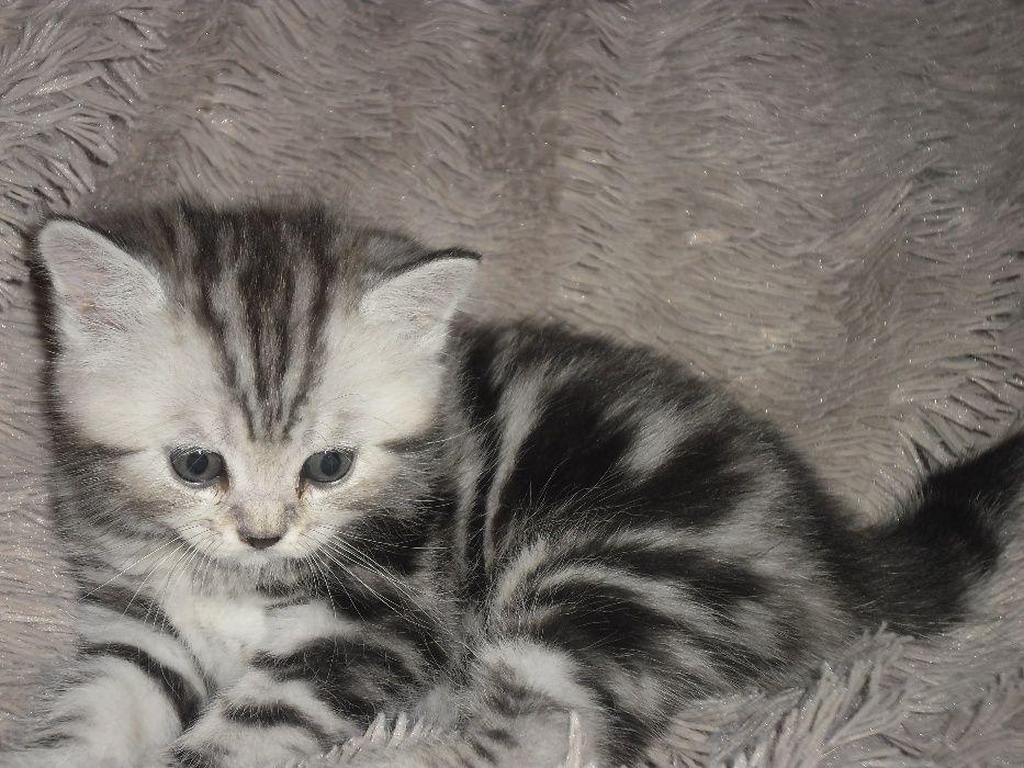 Котята породы британская короткошерстная.Настоящие,с документами.